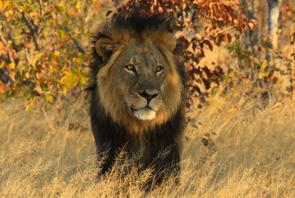 Lion, Nehimba Lodge