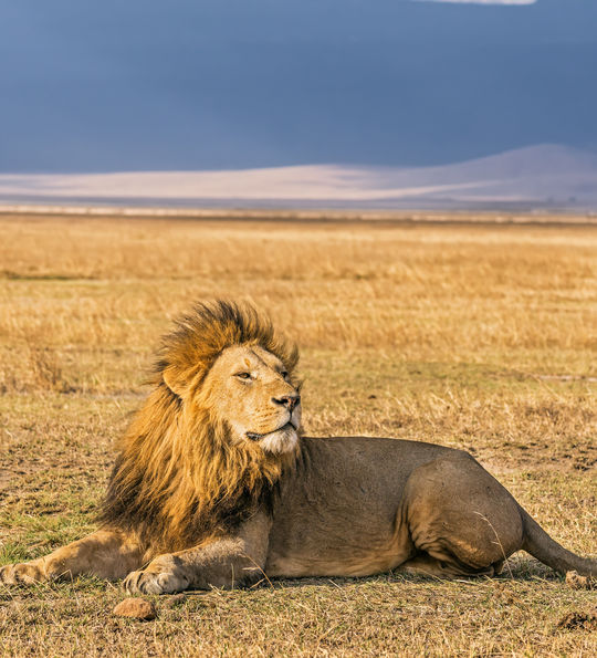 Lion at Ngorongoro Crater