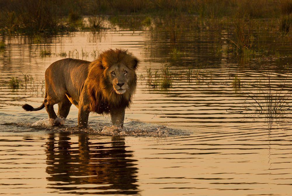 Lion, Okavango Delta, Botswana