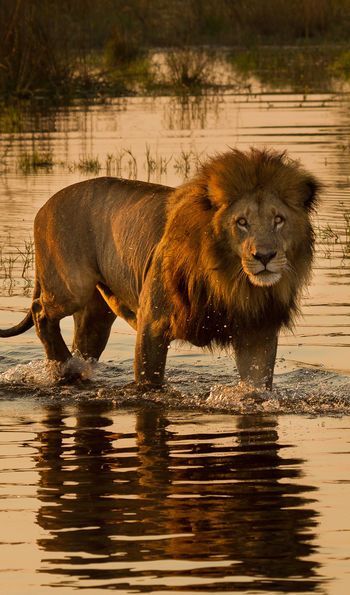 A lion in Chobe National Park