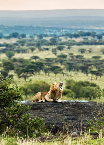 Lion in the Serengeti, Tanzania