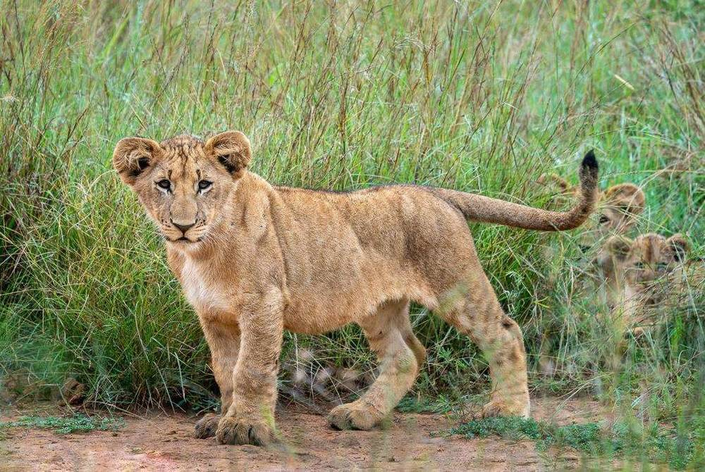 Lion cub, Magashi Camp, Akagera National Park, Rwanda