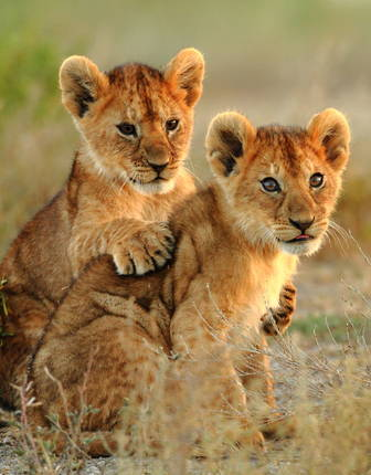 Lion cubs of Kruger National Park