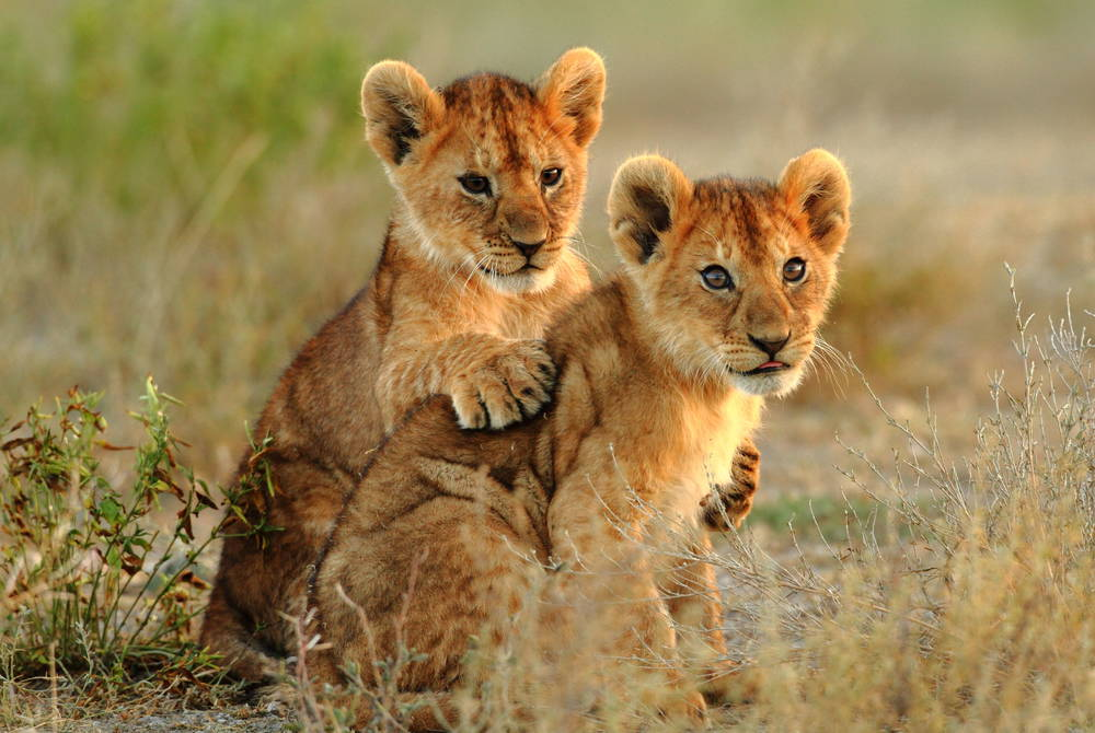 Lion cubs, Kruger National Park