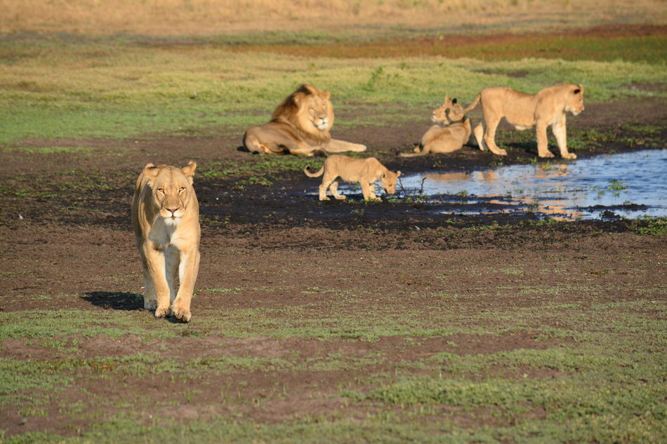 Lion family in Liuwa Plains National Park