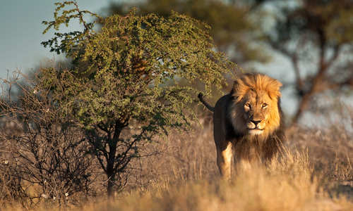 Lion in Kgalagadi National Park, South Africa