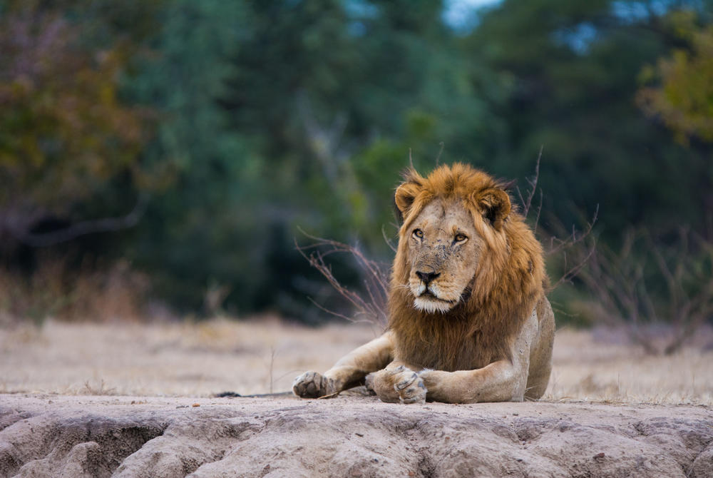 Lion in the Zambezi National Park