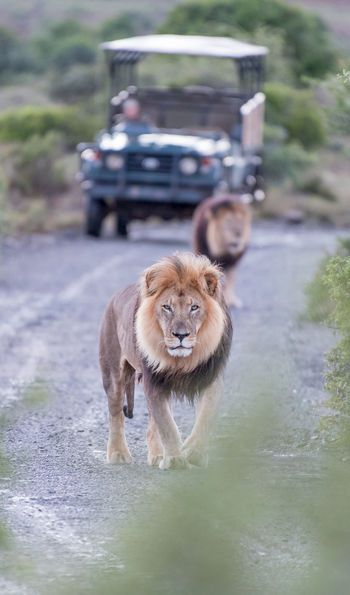 Lion in a South African Game Reserve
