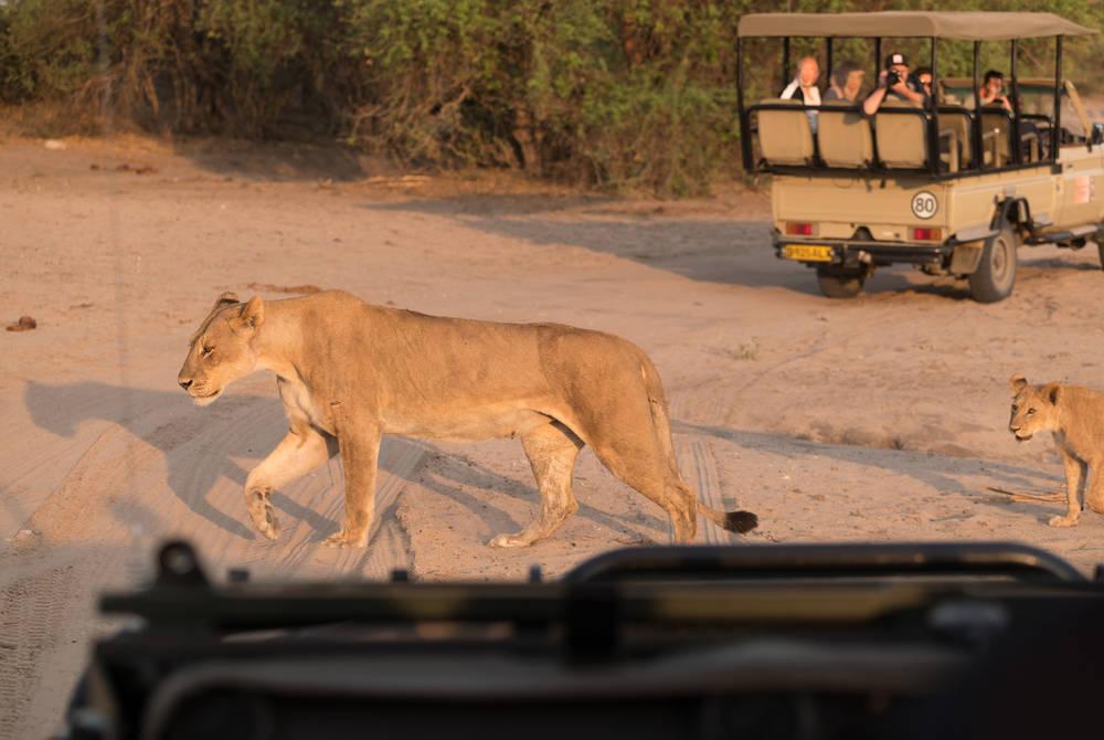 Lion pride, Chobe National Park