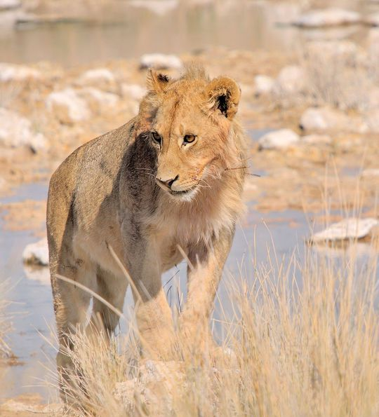 Lioness at a waterhole in Etosha National Park, Namibia