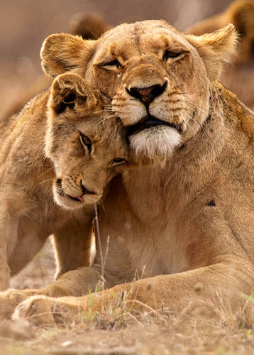 Lioness and cub in the Kruger National Park, South Africa