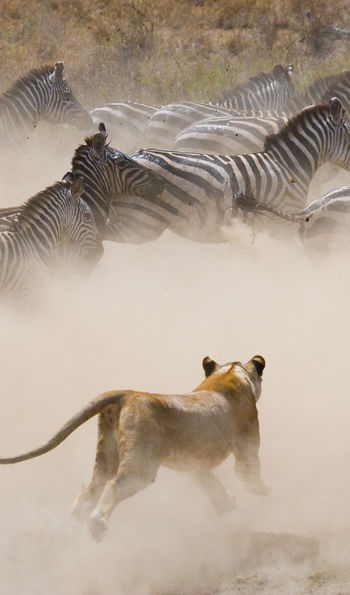 Lioness hunting Zebra in the Serengeti