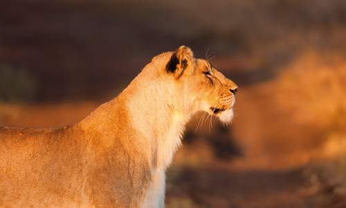 Lioness in KwaZulu-Natal, South Africa