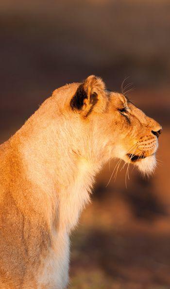 Lioness in KwaZulu-Natal, South Africa