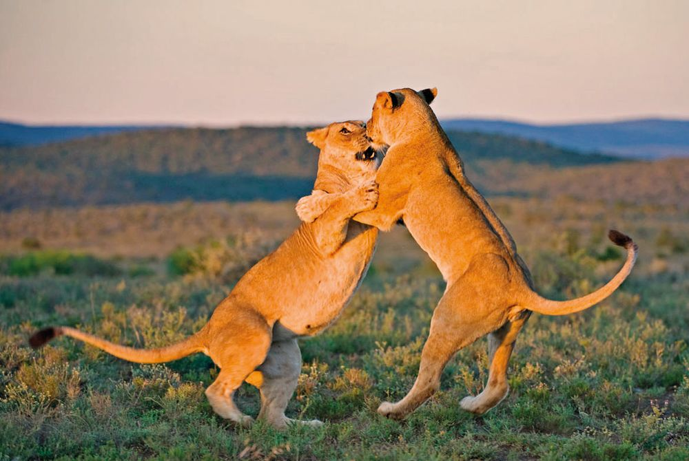 Lionesses, Kwandwe Private Game Reserve