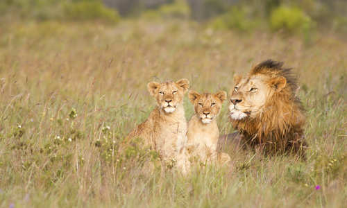 Lions, Eastern Cape, South Africa