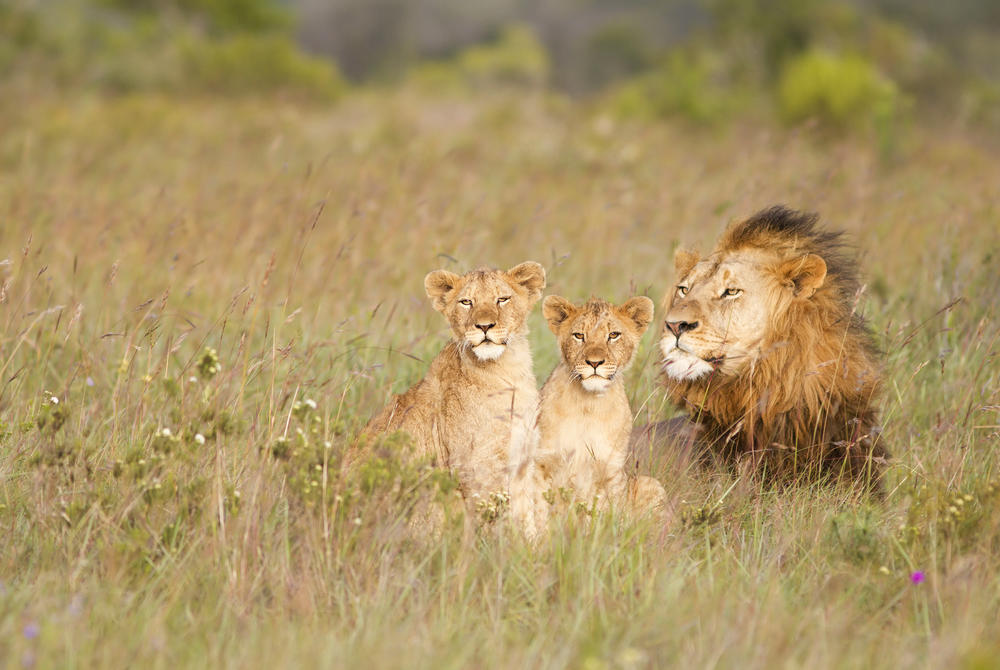 Lions, Eastern Cape
