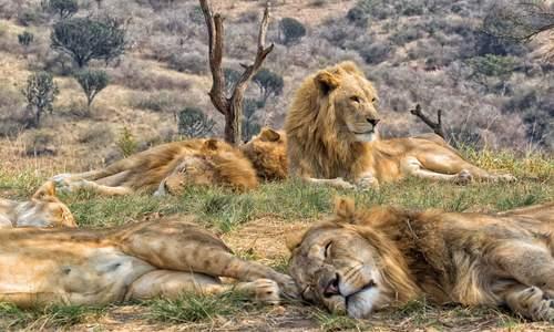 Lions, Kruger