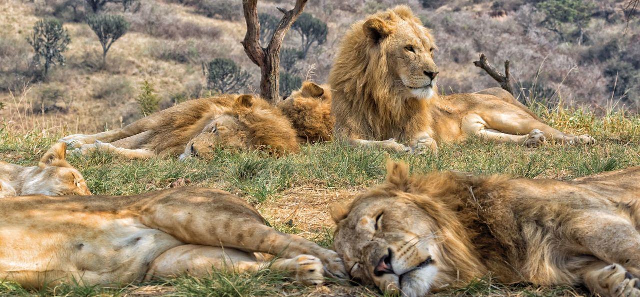 Lions sleeping in Kruger National Park