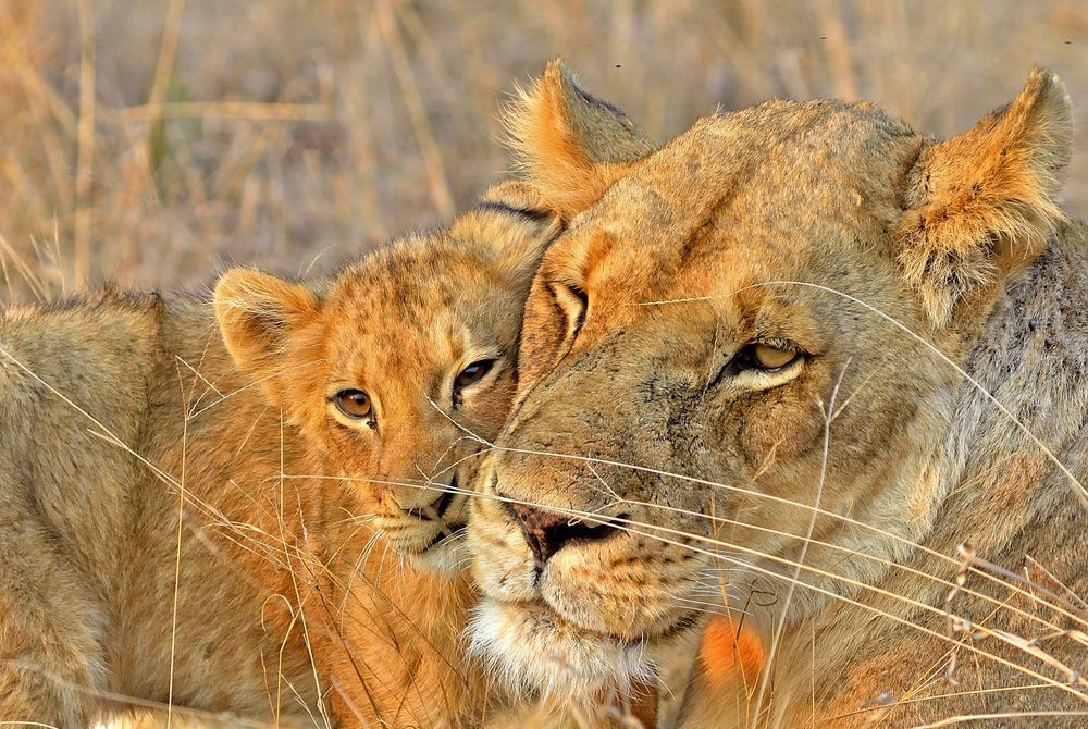 Lions, Sabi Sands Game Reserve, South Africa