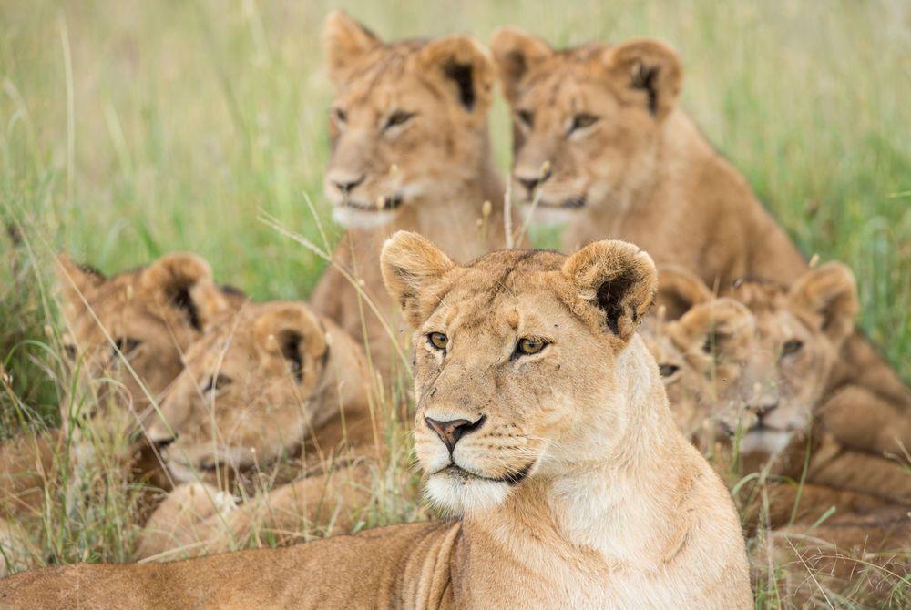 Lions, Tanzania