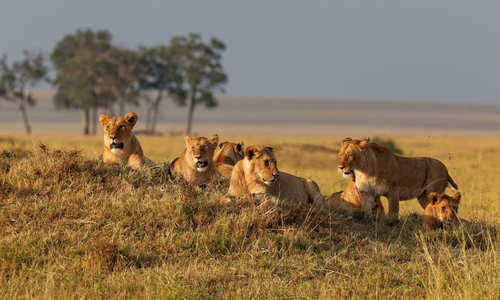 Lions in the Masai Mara, Kenya