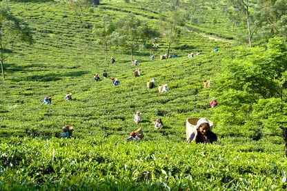 Lush field of tea pickers, Glenburn Tea Estate
