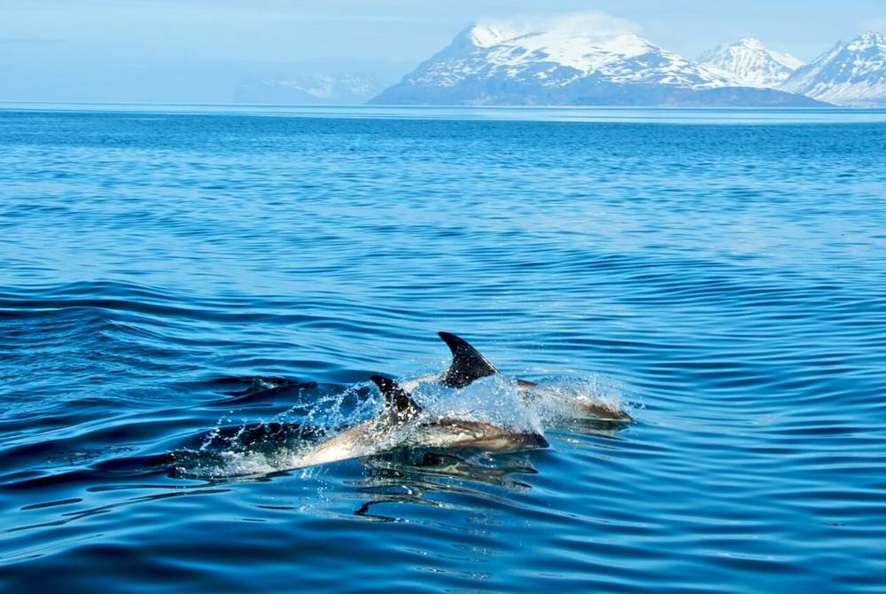 Dolphin Spotting Excursion, Lyngen Lodge