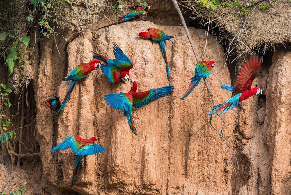 Macaws, Peruvian Amazon (Madre de Dios River)