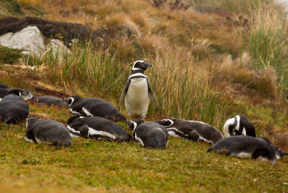 Magelanic Penguins Falkland Islands