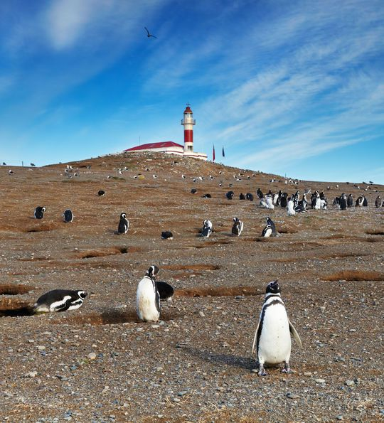 Magellanic penguins on Magdalena Island (off Punta Arenas)
