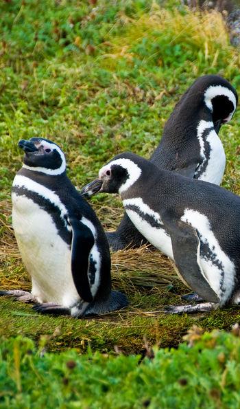 Magellanic penguins near Punta Arenas