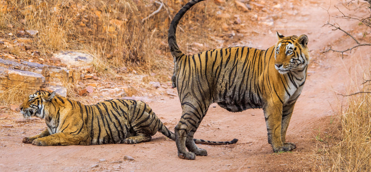 Male and female Bengal tiger playing in the Ranthambore National Park