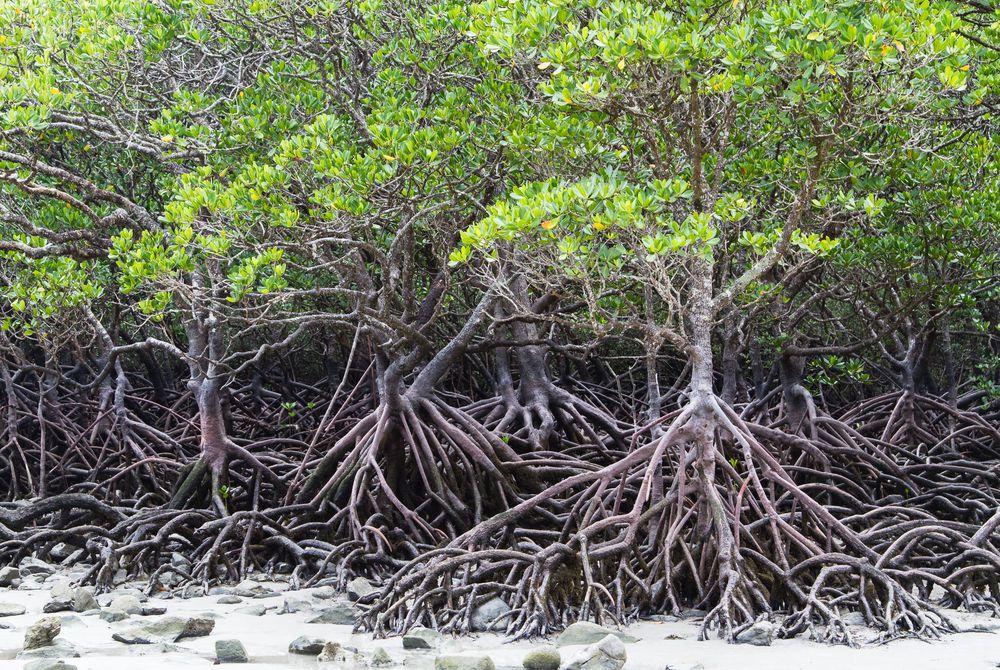 Mangroves, Daintree National Park, Queensland