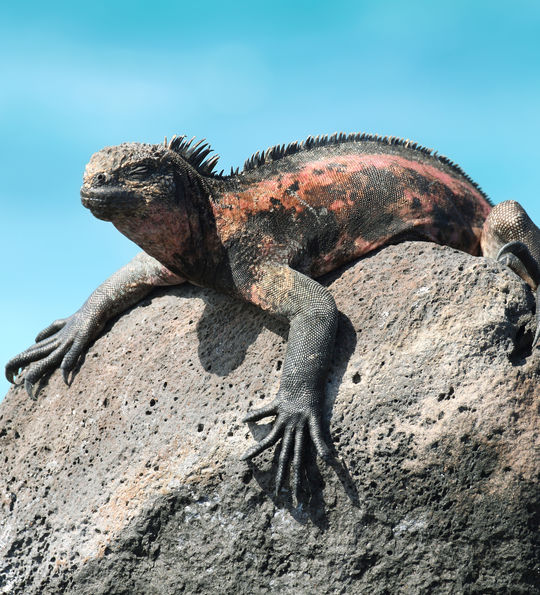 Marine Iguana resting on La Espanola Island in the Galapagos