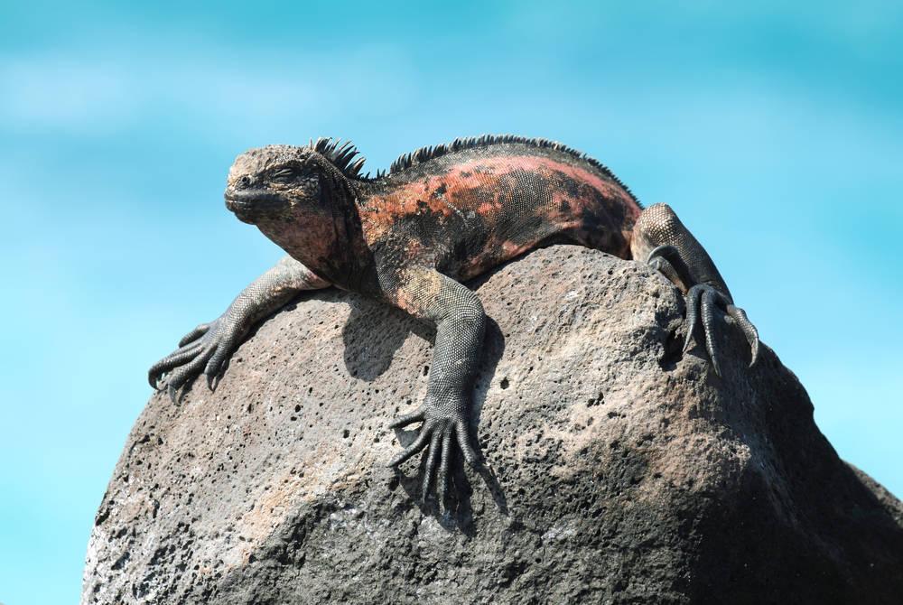 Marine iguana, La Espanola Island, Galapagos