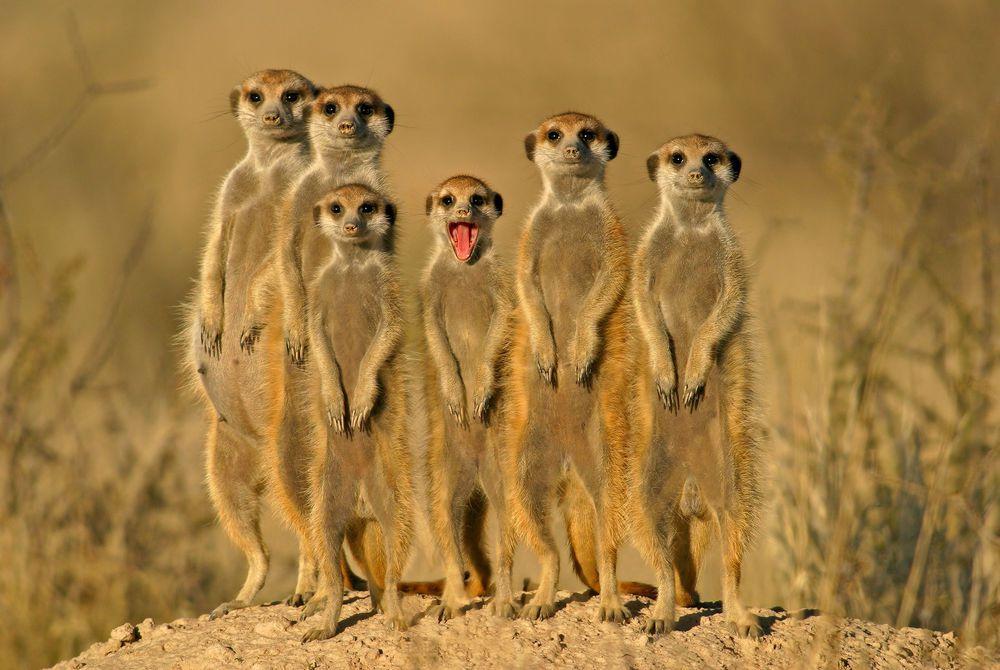 Meerkats, Kalahari Desert