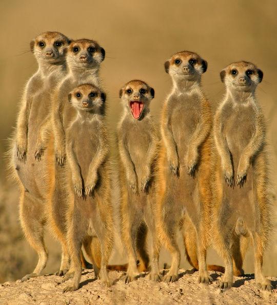 Meerkats, Kalahari Desert, Botswana