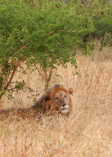Meriel's photgraphy, Lions in Kruger
