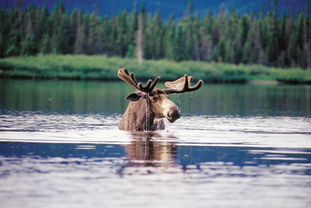 Moose, Québec, Canada
