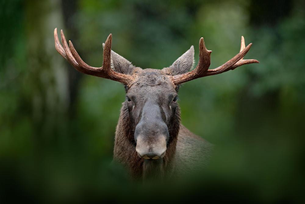 Swedish moose looking ahead