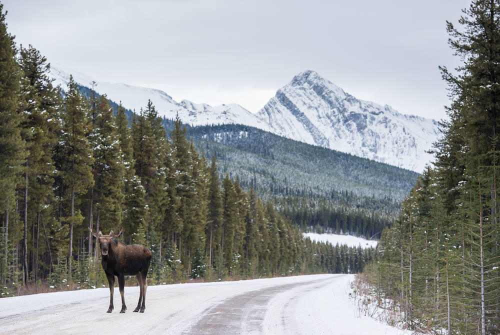 Moose in Jasper National Park