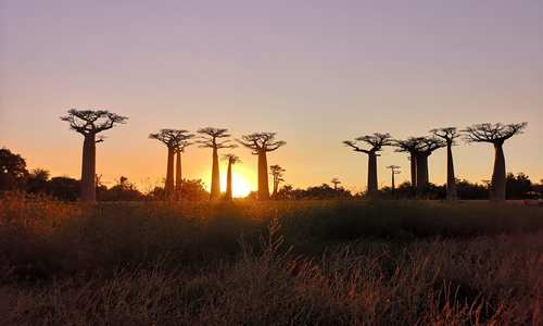Morondava Baobabs, Norire
