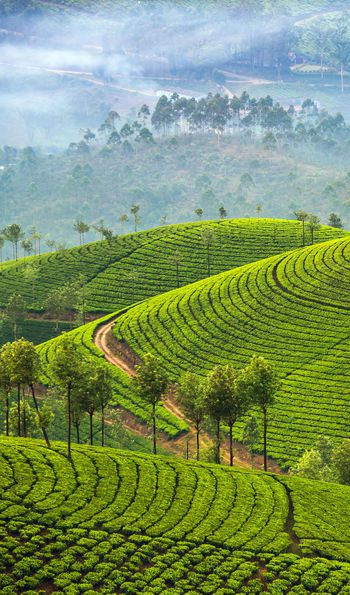 Munnar tea plantations in Kerala, India
