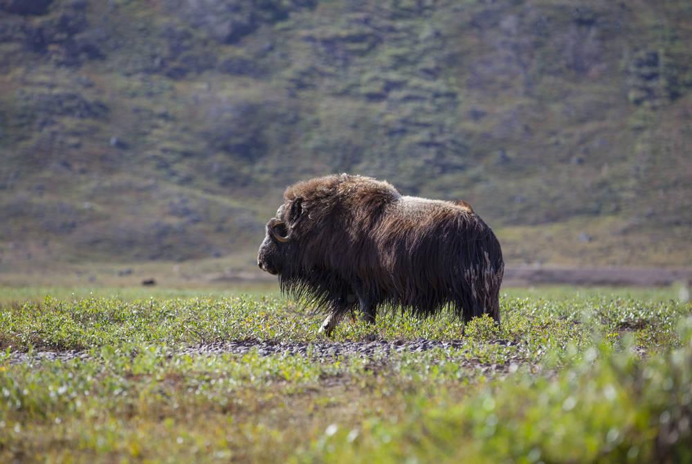 Musk ox, Kangerlussuaq, Greenland