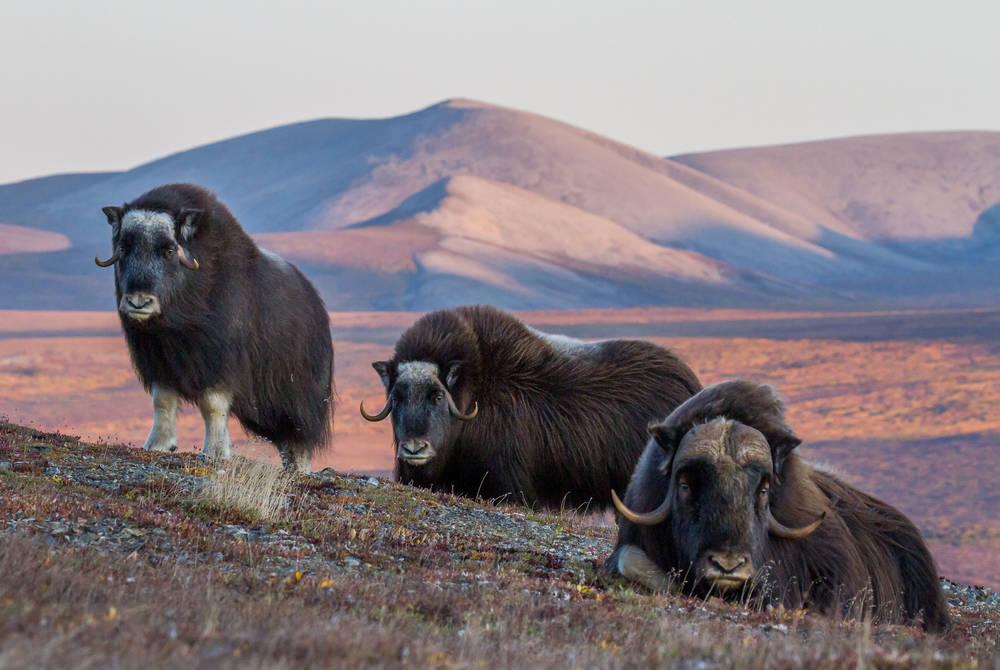 Musk ox near Nome, Alaska