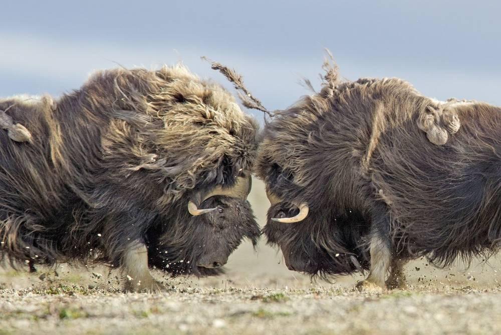 Muskoxen at Arctic Watch