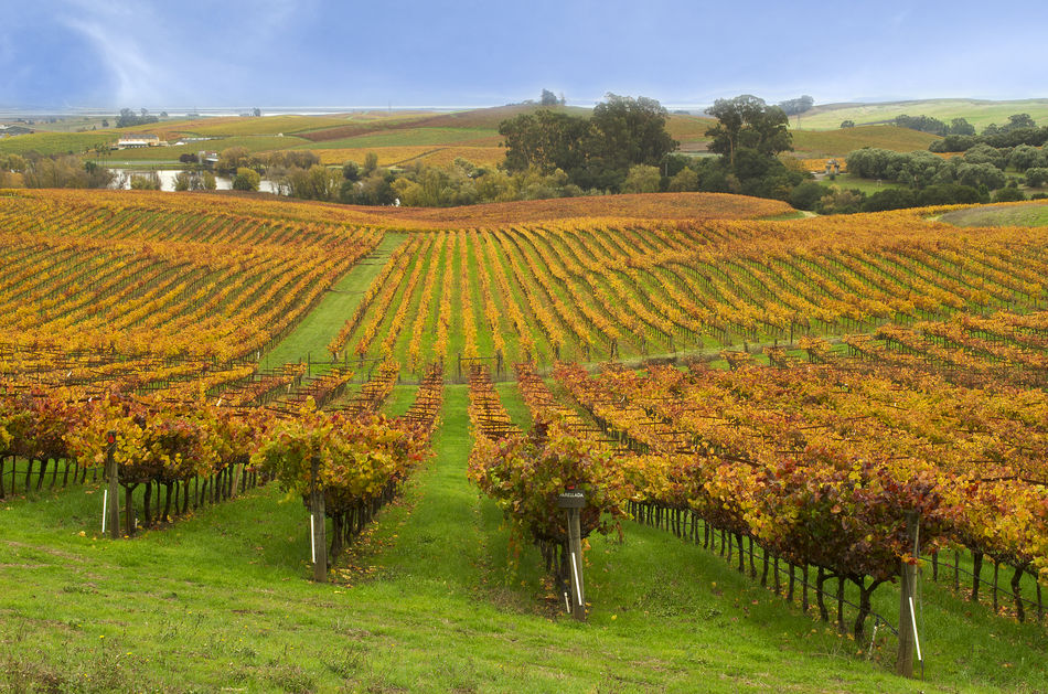 Vineyard in Napa, California
