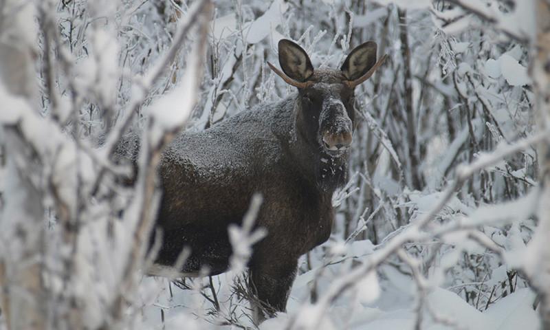 Moose (© Ofelas)
