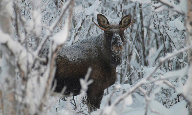 A moose near ICEHOTEL (Credit: Ofelas)